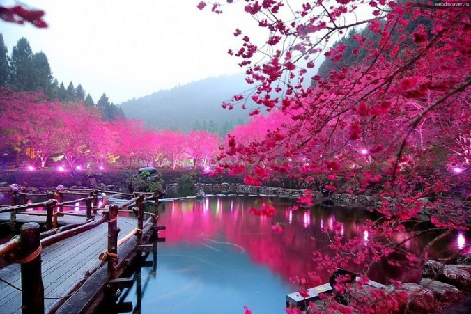 Lighted-Cherry-Blossom-Lake-Sakura-Japan